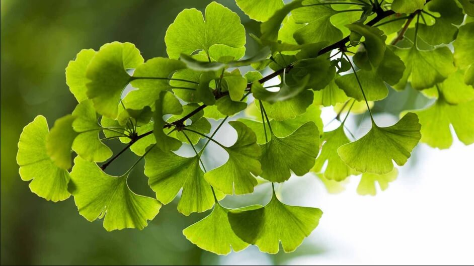 Ginkgo biloba leaves flourishing in the wild